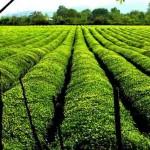 باغ چای 118 گیلان